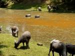 Water buffaloes taking advantage of the lake - Angkor, Siem Reap, Cambodia (16)