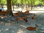 Deer in the grounds of Kasuga Grand Shrine - Nara, Japan (5)