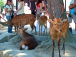Deer in the grounds of Kasuga Grand Shrine - Nara, Japan (6)