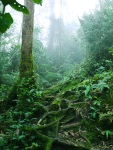 Hiking in the rainforest, low lying mist and knotted roots - Cameron Highlands, Malaysia (13)