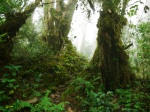 Hiking in the rainforest, moss covered trunks and mist - Cameron Highlands, Malaysia (14)