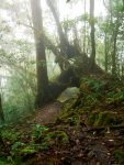 Hiking in the rainforest, fallen tree and misty surrounds - Cameron Highlands, Malaysia (16)