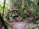 Hiking in the rainforest, knotted branches and moss covered trees - Cameron Highlands, Malaysia (9)