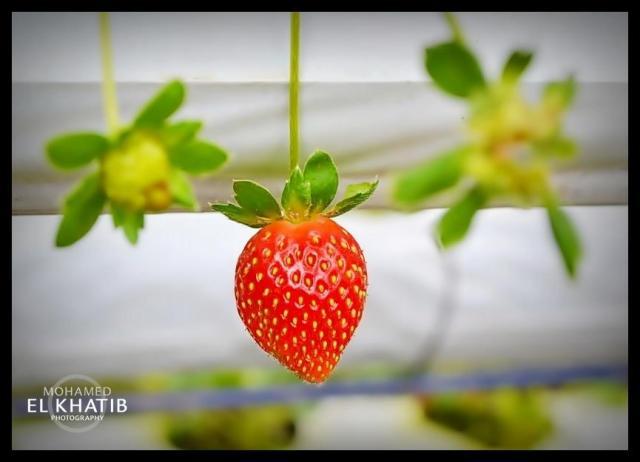 Mohamed El Khatib - strawberry