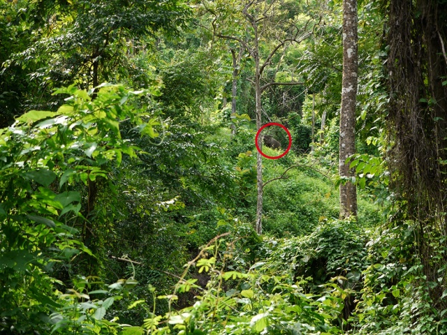 Hiking in the north of Thailand - elephant in the jungle