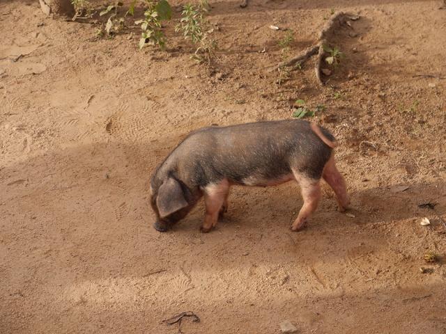 Little black pig in a Thai village