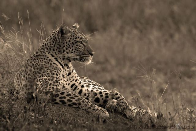 Thomas Retterath - Relaxed Leopard in the Serengeti