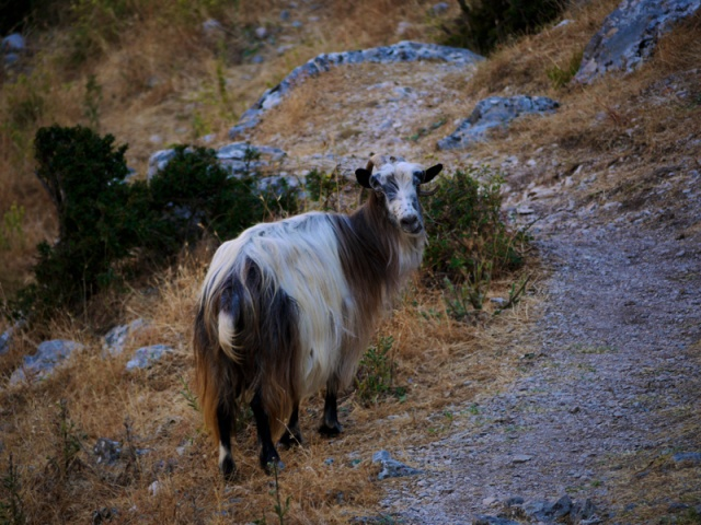 Long-haired goat spotted near the Kotor Fortress