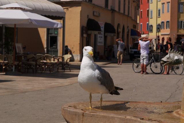 Seagull in Rovinj city centre, Croatia